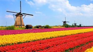 Colourful Tulips.