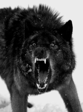name:Blacky rank:beta age:15(human years) description:loves fighting,hunting.big dark wolf.horror.