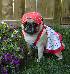 Our Pug Bailey dressed for Canada دن