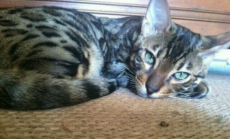 ooooh...tough one! probably a Bengal cat. It's a hybrid cat breed between a wild Asian Leopard Cat an
