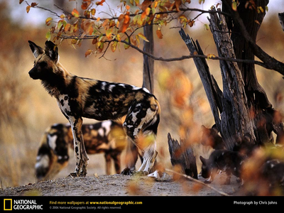 Yes, I would have an African Painted Dog या two, but probably two, because they are very social and p