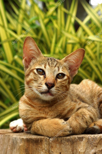 Lion-pretty brown and cream tabby she-cat Bengal mix with brown eyes and is very similar to her mom b