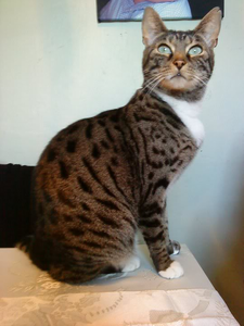 Poppy-a pretty male with dark brown fur, white chest and paw marks and black tabby and speckles with