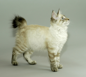 (last one Kiki-a fluffy white she cat with greyish brown sooty stripes and paws up the leg with a d