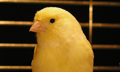 I have a yellow canary.