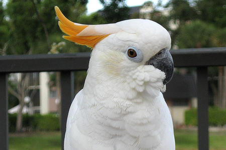 Cockatoos ... first not character post here! But no, I relate to cockatoos a lot mostly because