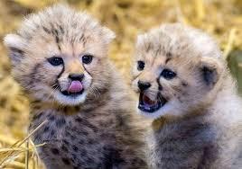 cute baby cheetah cubs