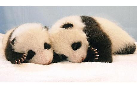 a pair of cute pandas taking a nap