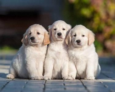 three lovable golden retrievers