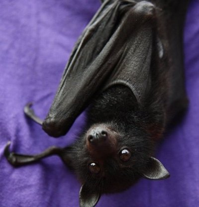 Aside from foxes, I love bats as well. I've always thought they were insanely adorable, and still d