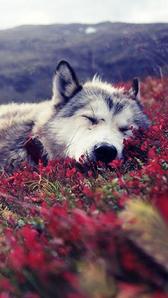 dreaming Husky 🧡