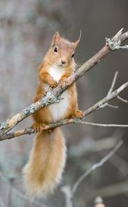 Red écureuil doing a ponder🤔