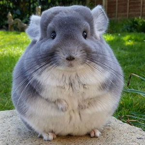 This chinchilla looks like a ball and I l'amour it!