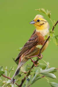 this is a yellowhammer...................