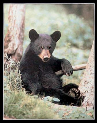 black ours cub