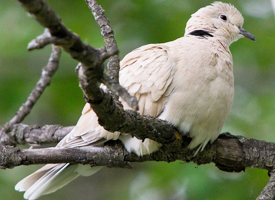 african dove....................