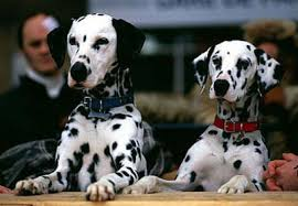 My پسندیدہ breed of dog is Dalmatian. Because they have a pretty spotted, looks cute, shapely figure