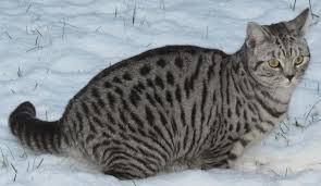 Name: Spottedfeather Clan: MountainClan Rank: Deputy Pelt: Gray with black spots Eyes: Amber Per
