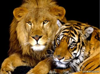 lions & tigers, my seconde favori with liking tigres a little plus but they are basically lié!