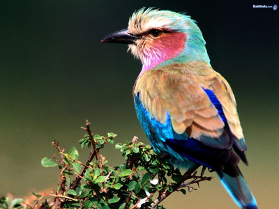 lila breasted roller, most beautiful bird!