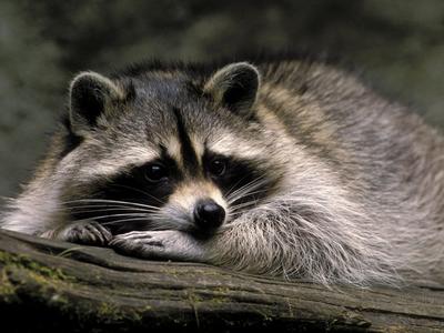 raccoon.............