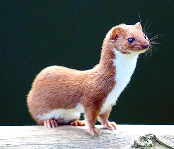 Weasel..............