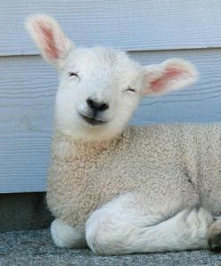 lamb..............