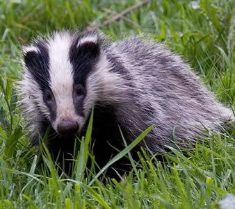 badger.............