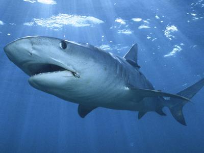 tiger shark.......................
