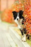 Border collie In Autumn