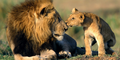 Cub & Daddy lion - lions photo