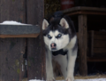 Demon from Snow Dogs - siberian-huskies photo