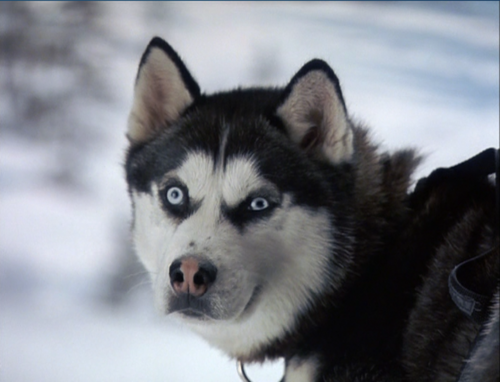 Siberian Huskies wallpaper entitled Demon from Snow Dogs