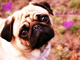 Pugs wallpaper possibly with a pug titled I love pugs