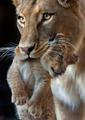 Mother & cub - lions photo