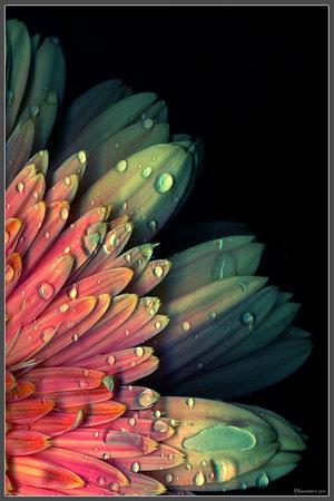 pelangi, rainbow Bunga