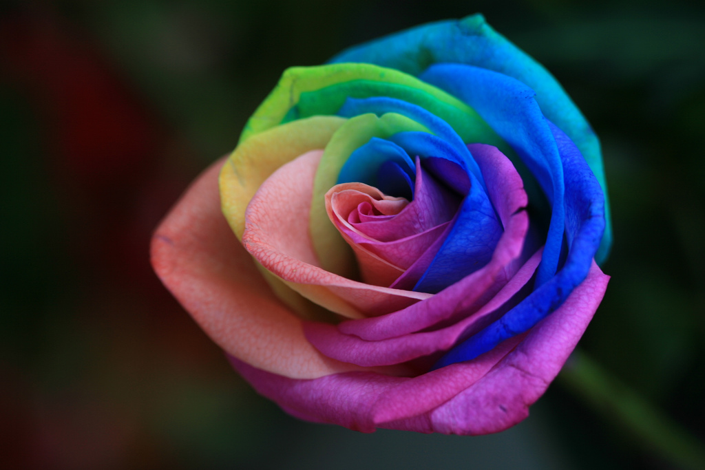 rainbow roses images rainbow roses hd wallpaper and