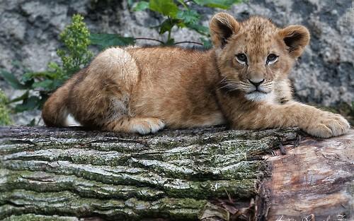 Le Roi Lion fond d'écran possibly with a lion cub, a lion, and a lionne titled Simba