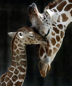 giraffe mother and baby