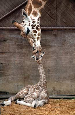 giraffe mother kisses baby