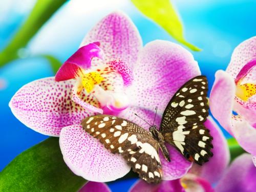 бабочка Обои