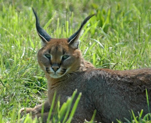 Caracal wallpaper entitled Caracal