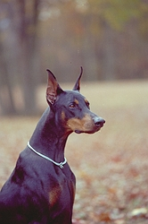 Doberman - dogs Photo