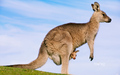 Kangaroo - australia wallpaper