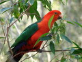 King Parrots - australia wallpaper