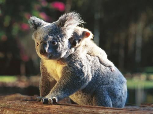 Australia wallpaper entitled Koala