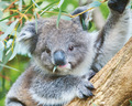 Koala - australia wallpaper