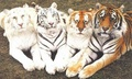 Multicolored tigers - tigers photo