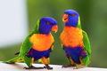 arcobaleno Lorikeet Australian Parotts