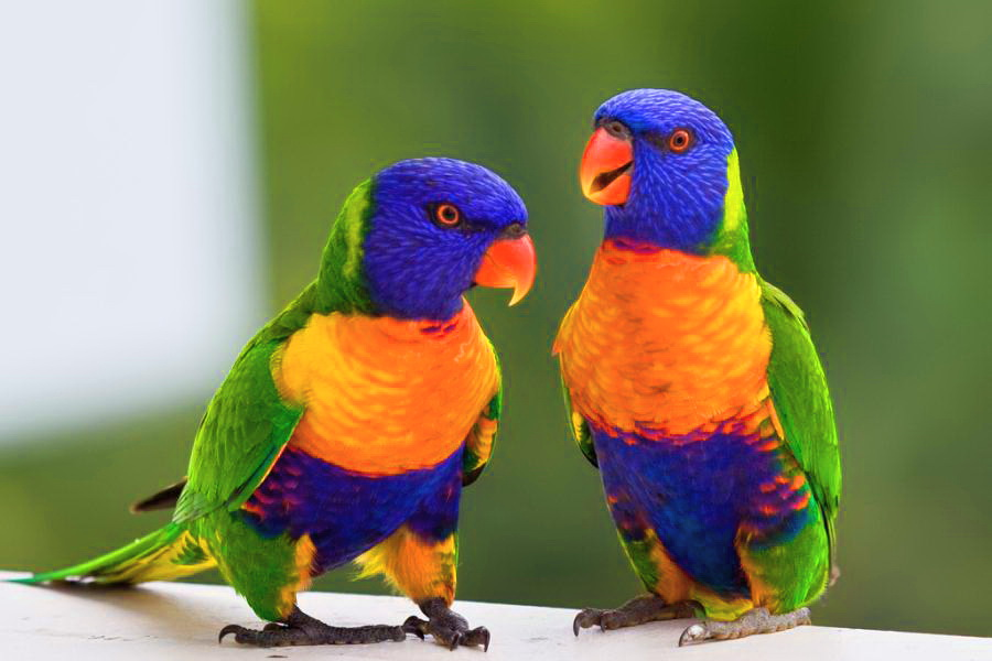arco iris, arco-íris Lorikeet Australian Parotts